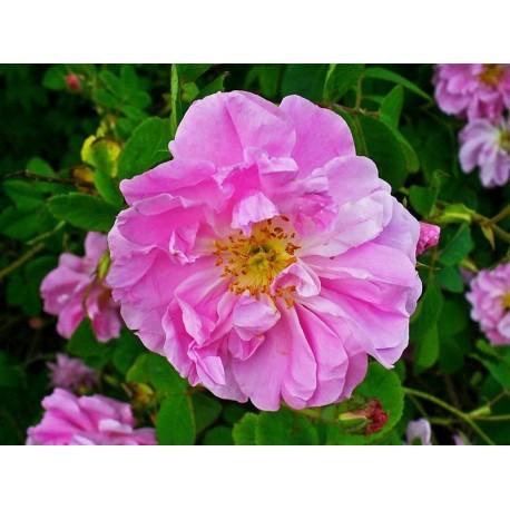hydrolat rose de damas rides - Essenciagua