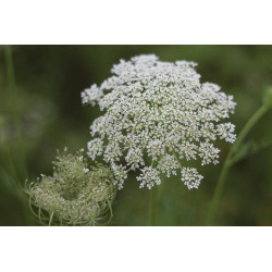 hydrolat carotte sauvage plantes fraîches - Essenciagua