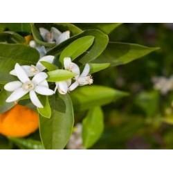 Fleur d'oranger (Néroli)