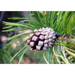 huile essentielle pin sylvestre 20ml - Essenciagua